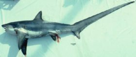 オナガザメの写真