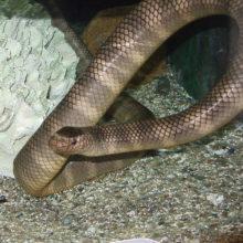 エラブウミヘビの写真