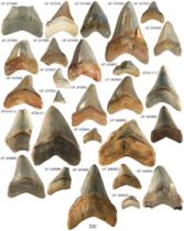 化石の写真