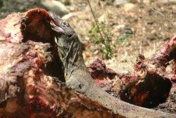 コモドオオトカゲの写真