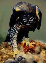 カンムリクマタカの写真