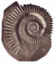 ヘリコプリオンの写真