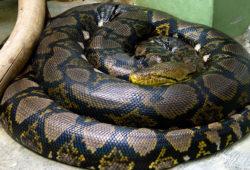 ニシキヘビの写真