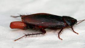 クロゴキブリの写真