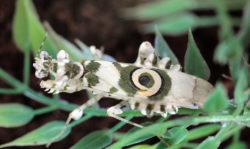 アフリカメダマカマキリの写真
