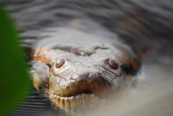 オオアナコンダの写真