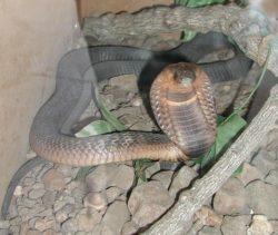 コブラの写真
