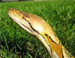 アミメニシキヘビの写真