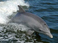 ハンドウイルカの写真