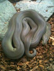 オリーブニシキヘビの写真