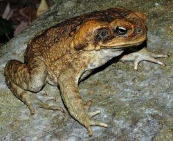 オオヒキガエルの写真