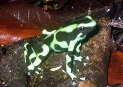 マダラヤドクガエルの写真
