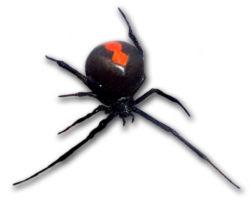 セアカゴケグモの写真