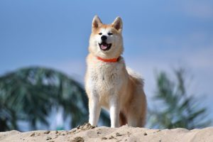 秋田犬の写真