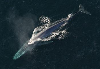 シロナガスクジラの写真