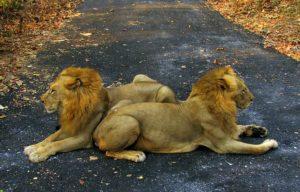ライオンの写真