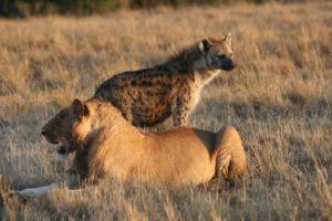 ライオンとハイエナの写真
