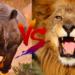 サイ対ライオン!どっちが強い!?