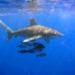 ヨゴレ(サメ)の危険性とは?生態や特徴と危険地域!