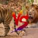 インドライオン対ベンガルトラ!生息地が重なっているならどっちが強いの?
