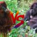 ゴリラ vs オランウータン!どっちが強い!?