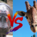 キリン vs カバ!どっちが強い!?
