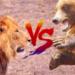 ライオンvs熊!どっちが強い!?