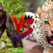 マウンテンゴリラ vs ヒョウ!どっちが強い!?
