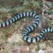 ウミヘビの種類一覧と毒性や生息地!噛まれた時の対処法は?
