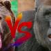 熊vsゴリラ!どっちが強い!?
